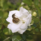 Snail on white flower. Snail on white hand bell Royalty Free Stock Photos