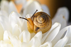 Snail on white flower Royalty Free Stock Photos
