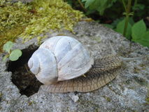 Snail with a white house Royalty Free Stock Photo