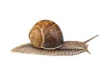Snail on white Royalty Free Stock Photo