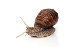 Snail On White Royalty Free Stock Photography
