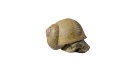 Snail on white. Studio background Royalty Free Stock Photography