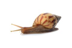 Snail on whte Royalty Free Stock Photography