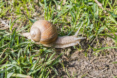 Snail in the wild Royalty Free Stock Images