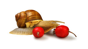 Snail and wild rose berries Stock Photo