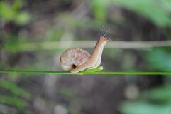 Free Snail With Long Antennae And Spiral Shell Crawling By Plant Stem. Macro Shot Of Nature Stock Photography - 216523842