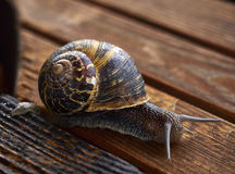 Snail on Wood Royalty Free Stock Photo