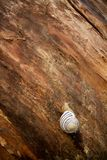 A snail on a wooden background Stock Photo