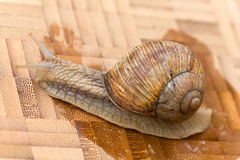 Snail on the wooden background Stock Photography