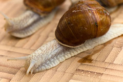 Snail on the wooden background Royalty Free Stock Images