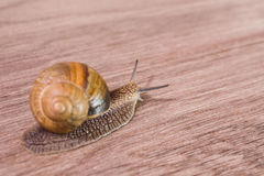 Snail on a wooden background, Royalty Free Stock Photo