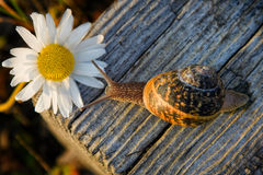 Snail on the wooden bar and flower. Snail On The Wooden Bar And daisy Flower Stock Images