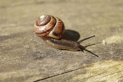 Snail on wooden bench. Royalty Free Stock Photography