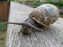 Snail on wooden fence. Snail in the backyard crawling on wooden fence Royalty Free Stock Image