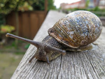 Snail on wooden fence. Snail in the backyard crawling on wooden fence Stock Images