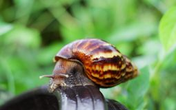 Snail on the wooden in the garden Royalty Free Stock Image