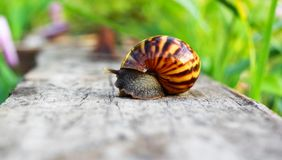 Snail on the wooden in the garden. Morning time Royalty Free Stock Photography
