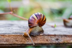Snail on the wooden in the garden Stock Images