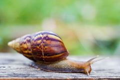 Snail on the wooden in the garden Stock Image