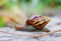 Snail on the wooden in the garden Royalty Free Stock Images