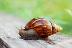 Snail on the wooden in the garden Royalty Free Stock Photography