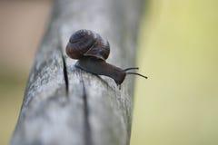 Snail on wooden stick Stock Photo