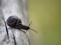 Snail on the wooden stick Stock Image