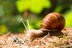 Snail  in the woods Royalty Free Stock Photo