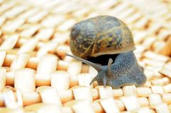 Snail on woven wood surface Stock Photography