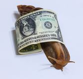 Large snail wrapped in dollar bill - the American dollar stock image