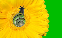 Snail on yellow gerbera flower. With brigh neon green background Royalty Free Stock Photos