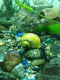 Snail yellow hid in the house. Snail aquarium on glass the bottom of the aquarium, pebble sink water fish, algae nature yellow aquarium snail on the stone stock photo