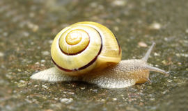 Snail with yellow shell Royalty Free Stock Image