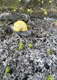 Snail with yellow shell sitting on a rock Royalty Free Stock Image