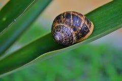 Snail on yuca leaf Stock Images