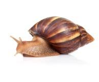 Snailen kryper på vitbakgrund Arkivfoton