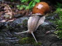 Snailen på en blöta vaggar Royaltyfria Bilder