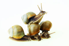 Snails. Amphibious animals with hard a cockleshell Stock Photos
