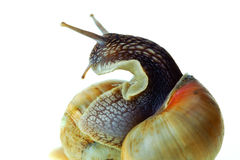 Snails. Amphibious animals with hard a cockleshell Royalty Free Stock Images