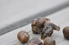 Snails. Closeup of a group of snails on a neutral background Stock Photo