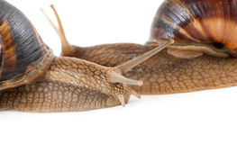Snails Royalty Free Stock Photography