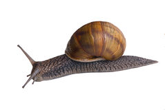 Snails. A snail in a race....sorta....a very slow one Royalty Free Stock Photo