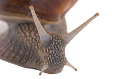 Snails. A very close macro shot of a snail Royalty Free Stock Image