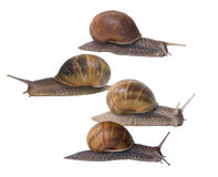 Snails. Four snail in a race....sorta....a very slow one Stock Photography