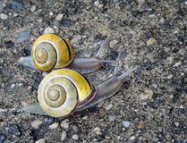 Snails. Two snails out for a stroll after a rain royalty free stock images