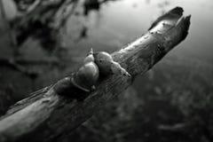 snails Royaltyfri Bild