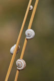 Snails. Three snails who are on dry stalks of a grass Royalty Free Stock Image