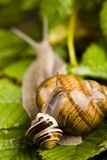 Snails Stock Image