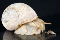 Snails. A big and a small snail in love Stock Photography