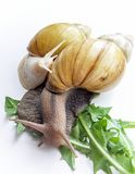 Snails Achatina Stock Photo